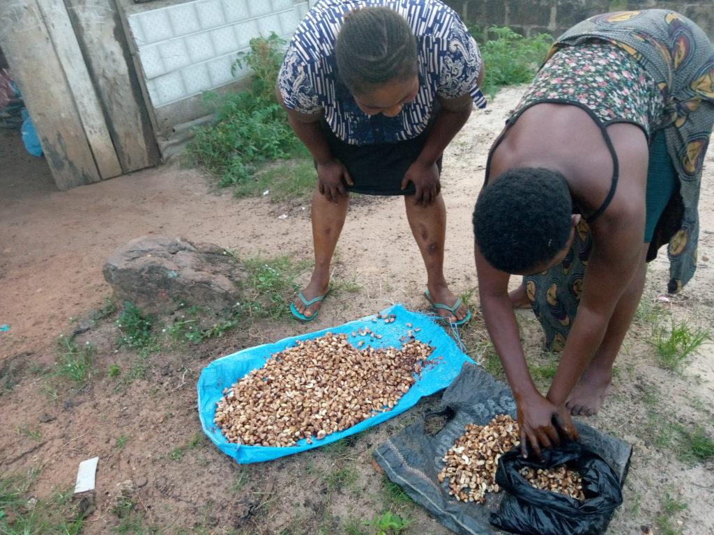 Photo of Mrs Ginika Owoh and Mrs Eze Ogochukwu packing cashew spread in the sun to dry rather than bake at Awkunano Udi